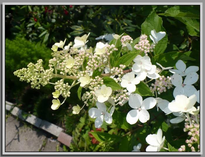 hortensjadrzewkoNNdorozpoznania11-07-16kwiatostan.jpg