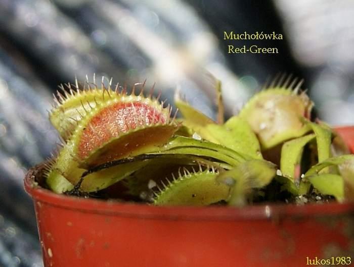 mucholowka-redgreen.jpg