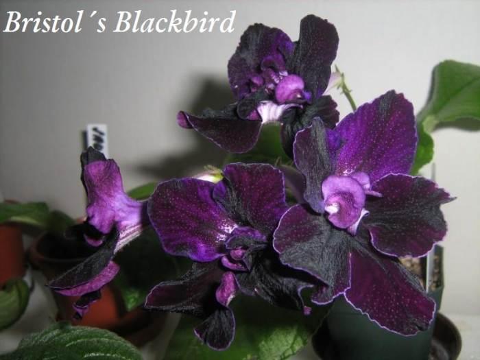 b.black_bird.jpg