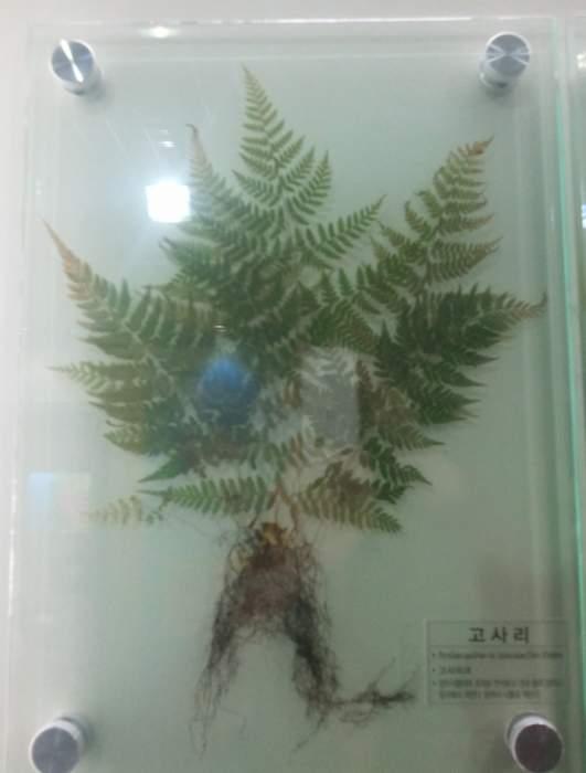 Pteridium-latiusculum.jpg