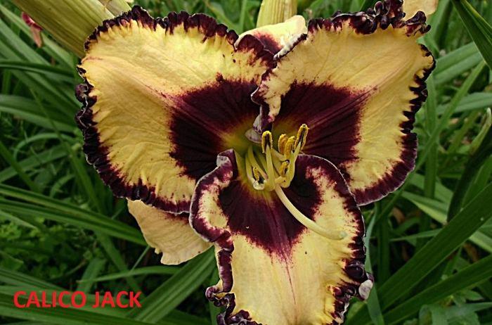 CalicoJack3.jpg
