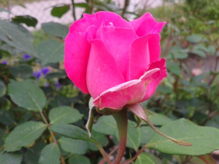roz2.jpg