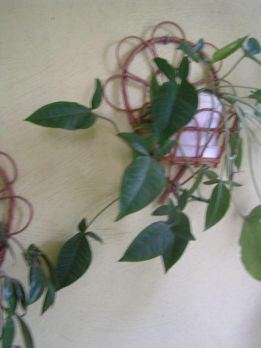 syngoniumauritum-zrolichauszkowata.jpg