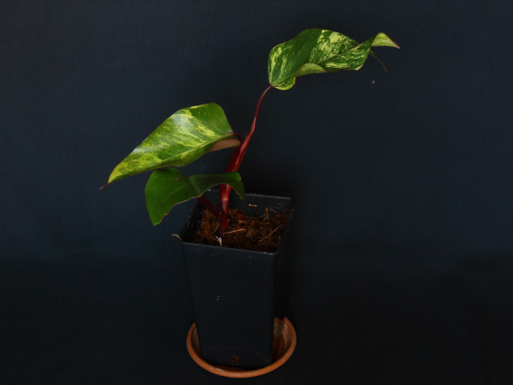 PhilodendronBlackemeraldvariegated_1.JPG