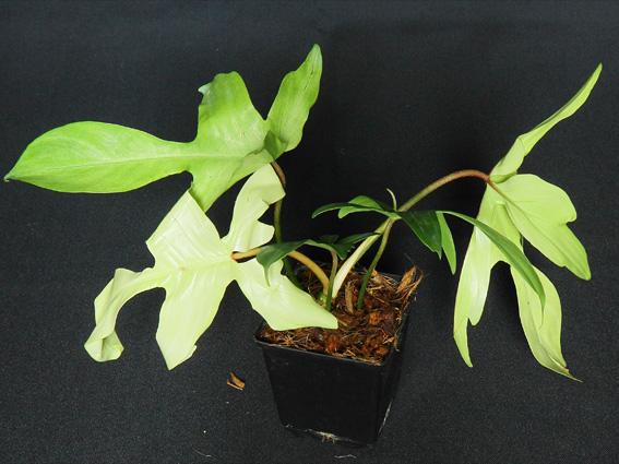 PhilodendronFloridaBeautyAlba.JPG