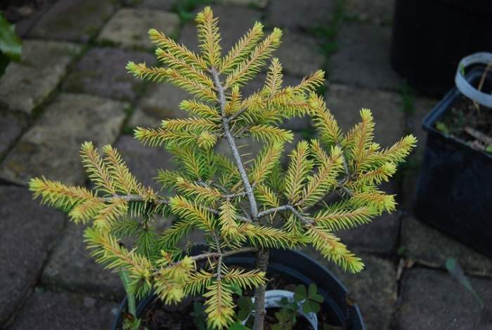 pic.abies.vermont.gold_2013-07-23.JPG