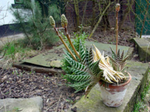 Aloes.png