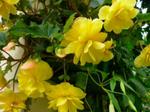 Begonia-2.png