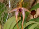 Bulbophyllumechinolabium.png