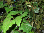 Cissusrombolistny.png