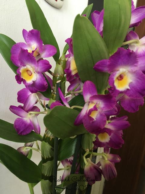 Dendrobium-3-2.png