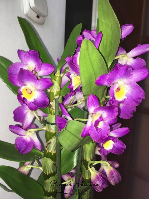 Dendrobium-4-2.png