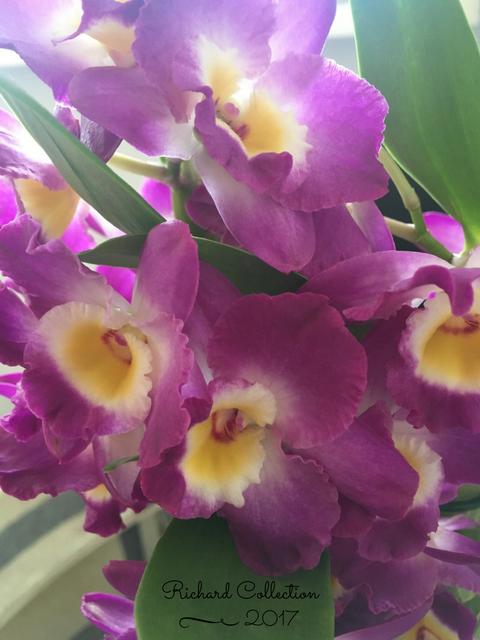 Dendrobium-5-2.png