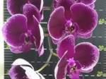 DoritaenopsisMikiGalaxy.png