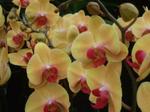 DoritaenopsisSin-YuanGoldenBeauty.png