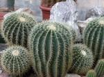 Echinocereus.png