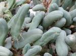 Echinopsisbridgesii.png