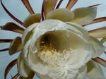 Epiphyllum.png