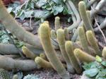 Eriocactusleninghausii.png