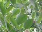 Eukaliptusgrski.png
