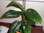 Filodendron.png
