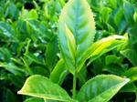 Herbata.png