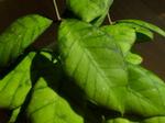 Hoyacallistophylla.png