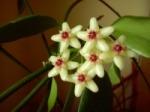 Hoyadiptera.jpg