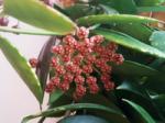 Hoyagracillissyn.memoria.png