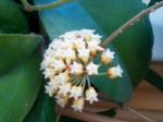 Hoyaincrassatasyn.crassicaulis.png