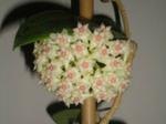 HoyaparasiticaLao.png