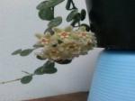 Hoyaserpens.png