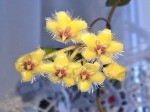 Hoyasoidaoensis.jpg