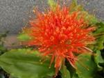 Krasnokwiat.png