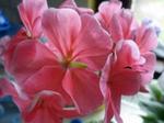 Pelargonia.png