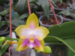 Phal.SummerRainbow.png