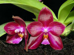 PhalaenopsisLeaMarieSalazar.png