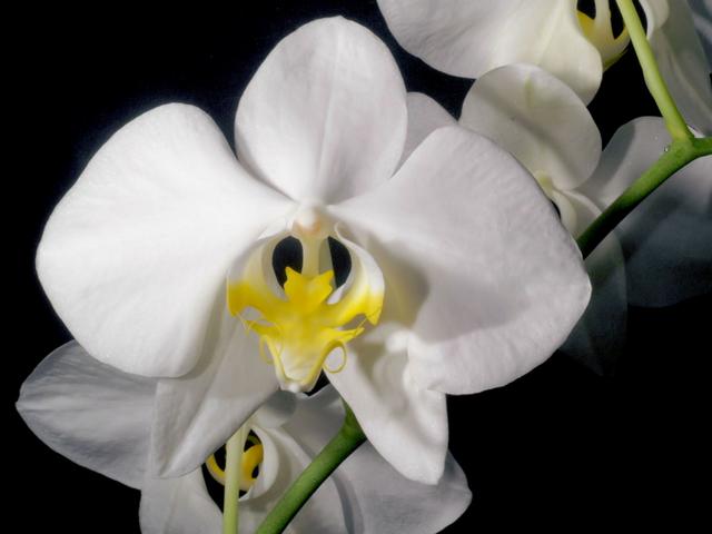 Phalaenopsisamabilis-3.png