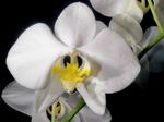 Phalaenopsisamabilis1.png