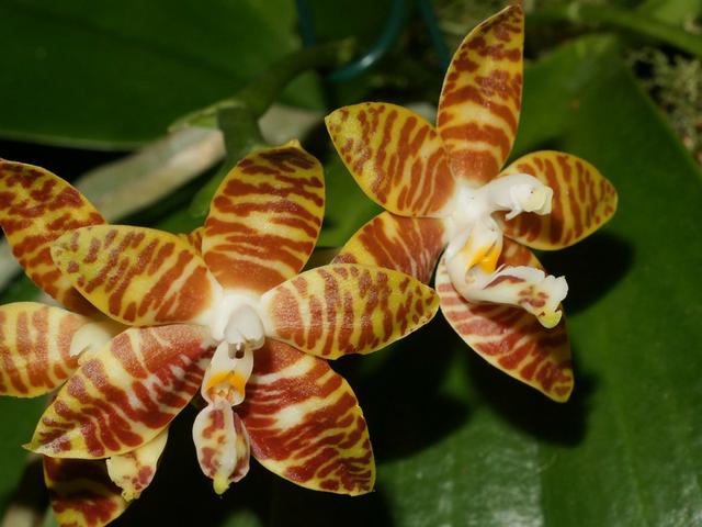 Phalaenopsisamboinensis-3.png