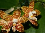 Phalaenopsisamboinensis1.png