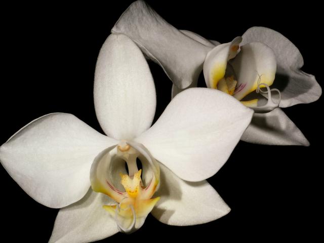 Phalaenopsisaphrodite-3.png