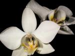 Phalaenopsisaphrodite1.png