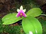 Phalaenopsisbellina1.png