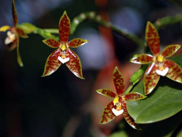 Phalaenopsisborneensis-2.png
