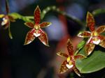 Phalaenopsisborneensis1.png