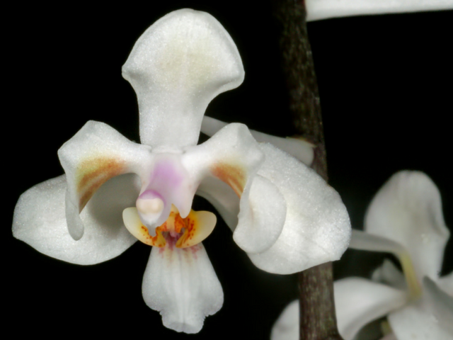 Phalaenopsiscelebensis-3.png