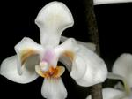 Phalaenopsiscelebensis1.png