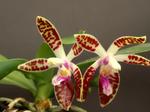 Phalaenopsiscorningiana1.png