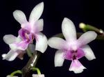 Phalaenopsisdeliciosa1.png